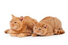在白色的两只小红色英国小猫 库存照片