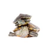 在白色的两只淡水红有耳的乌龟 免版税库存图片