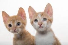 在白色的两只逗人喜爱的小猫 免版税图库摄影
