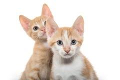 在白色的两只逗人喜爱的小猫 免版税库存照片