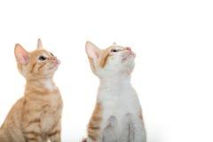 在白色的两只逗人喜爱的小猫 库存图片