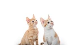 在白色的两只逗人喜爱的小猫 库存照片