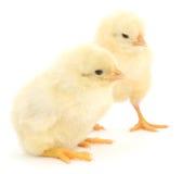 在白色的两只逗人喜爱的小鸡 免版税库存图片