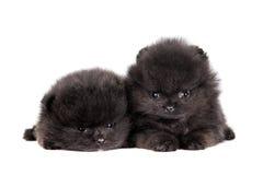 在白色的两只pomeranian小狗 免版税库存图片