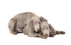 在白色的两只Weimaraner小狗 免版税库存照片