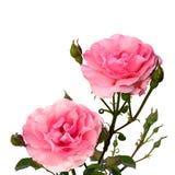 在白色的两朵桃红色玫瑰 库存图片