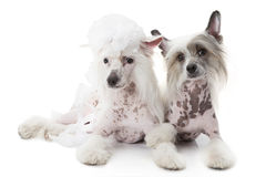 在白色的两条无毛的中国有顶饰狗 免版税库存图片