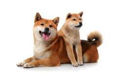 在白色的两条shiba inu狗 免版税图库摄影
