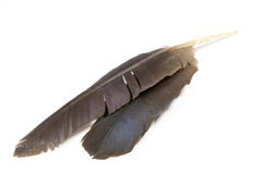 在白色的两根被隔绝的Hadeda朱鹭羽毛 免版税库存图片