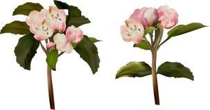在白色的两轻的苹果开花 库存图片