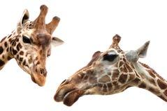 在白色的两头长颈鹿 库存图片