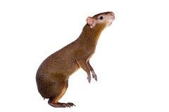 在白色的中美洲刺豚鼠 库存照片