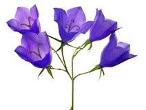 在白色的五朵会开蓝色钟形花的草花 免版税图库摄影