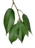 在白色的五片樱桃树绿色叶子 免版税图库摄影