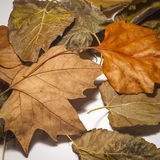 在白色的五颜六色的叶子 图库摄影