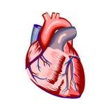 在白色的人的心脏解剖学 库存图片