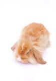 在白色的兔子 免版税图库摄影
