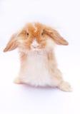 在白色的兔子 库存照片