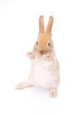 在白色的兔子 免版税库存图片