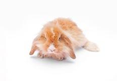 在白色的兔子 图库摄影