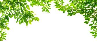 在白色的全景绿色叶子 库存图片