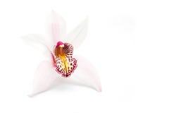 在白色的兰花 免版税库存图片