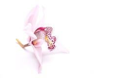 在白色的兰花 免版税库存照片