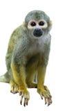 在白色的共同的松鼠猴子 库存图片