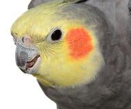 在白色的共同的灰色小形鹦鹉 库存照片