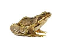 在白色的共同的青蛙 库存图片