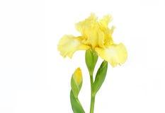在白色的典雅的黄色虹膜 免版税库存照片