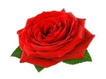在白色的华美的红色玫瑰 免版税库存图片