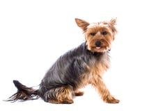 在白色的可爱的约克夏狗 免版税库存图片