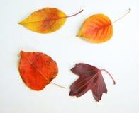 在白色的叶子秋天 图库摄影