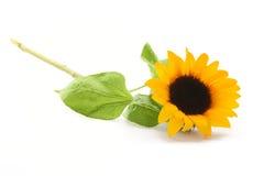 在白色的向日葵 免版税库存照片
