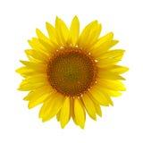 在白色的向日葵 免版税库存图片