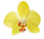 在白色的唯一黄色兰花花 库存照片