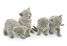 在白色的四只小猫 免版税库存图片