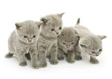 在白色的四只小猫 库存照片