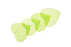 在白色的四片绿色心形的骨骼叶子 免版税库存图片