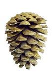 在白色的圣诞节金黄杉木锥体装饰 库存图片