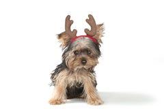 在白色的圣诞节主题的约克夏狗 库存照片