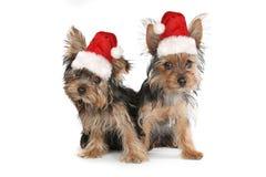 在白色的圣诞节主题的约克夏狗 免版税库存照片