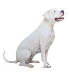 在白色的坐的dogo Argentino 库存照片