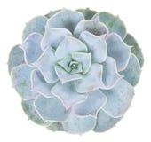 在白色的多汁植物 图库摄影