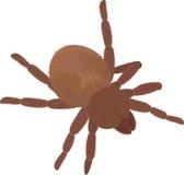 在白色的大棕色蓬松蜘蛛塔兰图拉毒蛛 免版税库存照片
