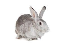 在白色的大灰色兔子 免版税库存照片