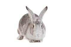 在白色的大灰色兔子 库存照片