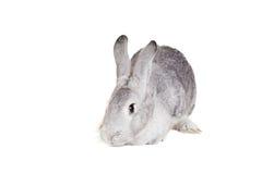 在白色的大灰色兔子 免版税库存图片