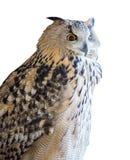 在白色的大老鹰猫头鹰 库存照片